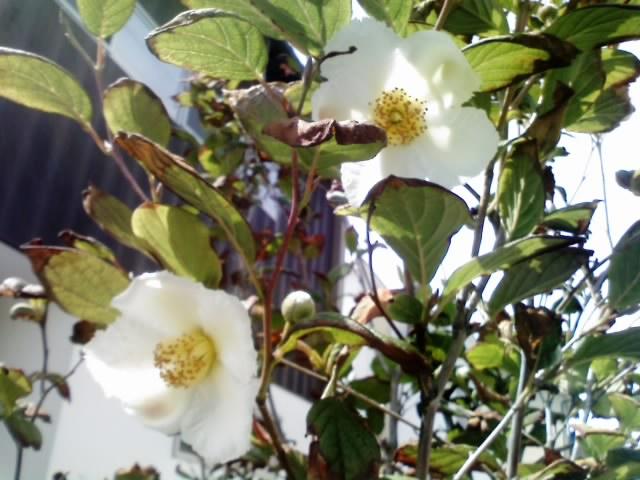 シャラの木の花